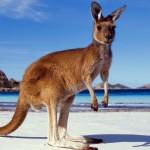 red-kangaroo-04